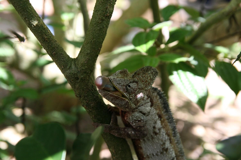 Chamäleon auf der Lauer auf Madagaskar